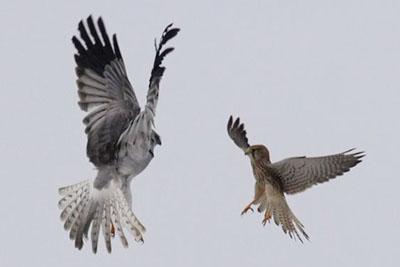 Busard Saint-Martin et Faucon crécerelle se battent pour un territoire de chasse © Didier Collin