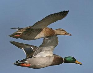 Canard colvert (femelle en haut, mâle en bas)