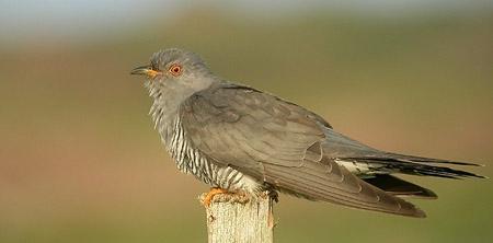 un oiseau - ajonc - 24 septembre Coucou.gris.auau.1