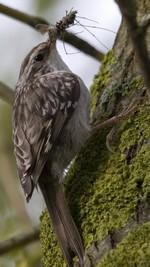Grimpereau des bois.© D. Collin