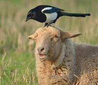 http://www.oiseaux.net/dossiers/gilbert.blaising/images/pie.bavarde.reho.1.jpg
