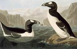 Grand pingouin, planche 341 musée de la Civilisation.