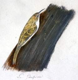 Grimpereau des bois muséum La Rochelle