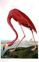 Flamant rose, Jean-Jacques Audubon.