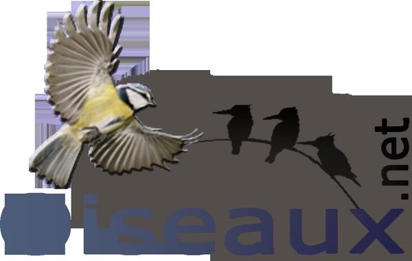 10/09/2019 : Photos : Oriole jaune, Caracara du Nord, Hirondelle à ailes blanches, Hirondelle à gorge rousse.