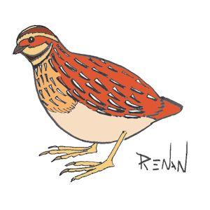 Caille des bles for Oiseau par la couleur