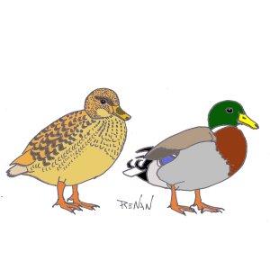 Canard colvert for Couleur du canard
