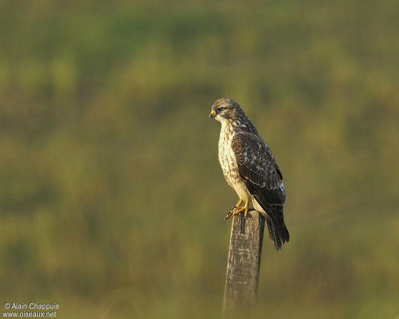 Buse variable adulte, identification, Comportement