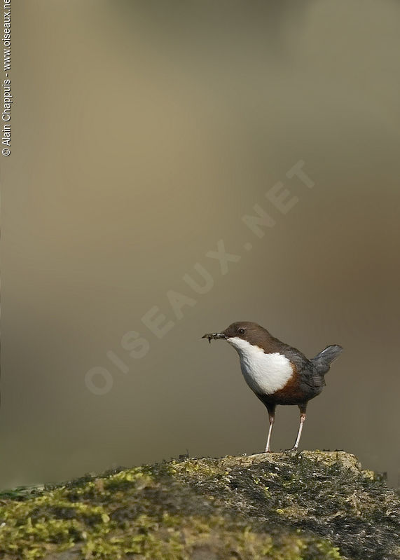 White-throated Dipper adult, identification, Reproduction-nesting, Behaviour