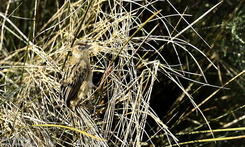 Zitting Cisticola adult, identification, Reproduction-nesting, Behaviour