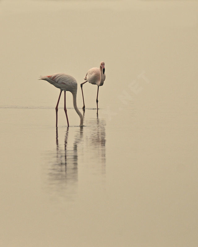 Flamant rose adulte nuptial, identification, Comportement