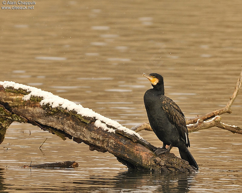 Grand Cormoran mâle adulte internuptial, identification, Comportement