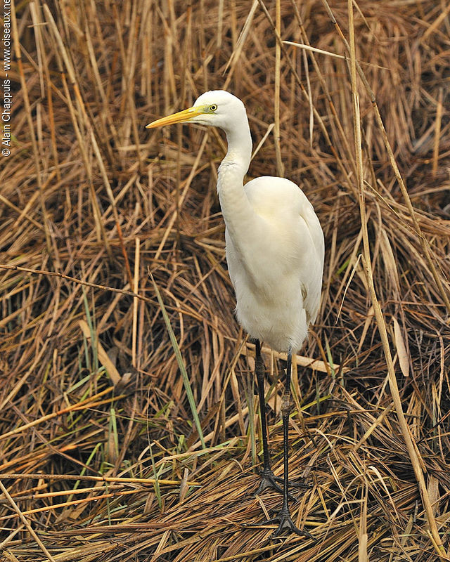 Grande Aigrette adulte, identification, Comportement