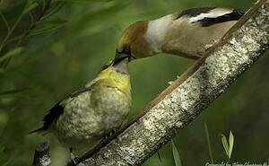 Grosbec casse-noyaux