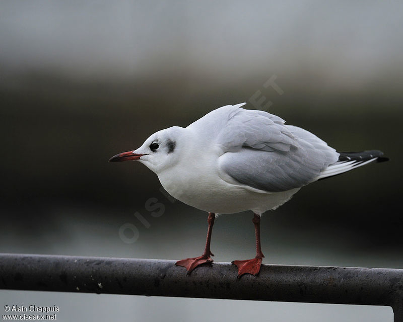 Mouette rieuse adulte internuptial, identification, Comportement