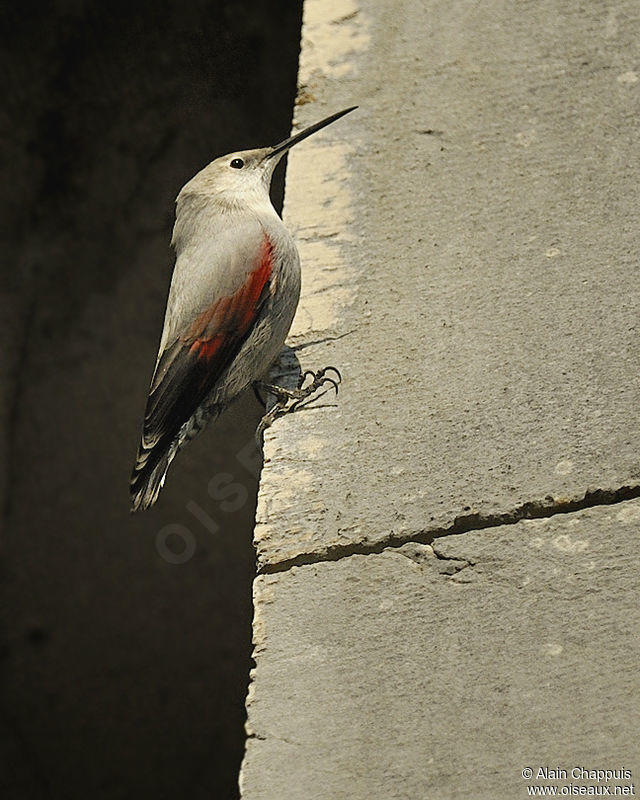 Wallcreeper adult, identification, Behaviour