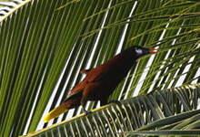 Cassique de Montezuma