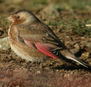 Roselin à ailes roses