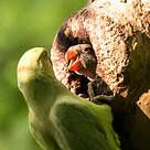 Perruche à collier