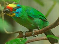 Barbu malais