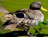 Canard à bec jaune