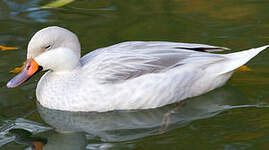 Canard des Bahamas