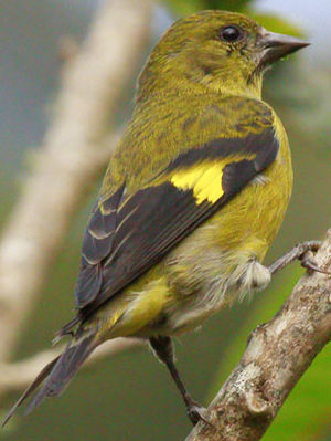 Chardonneret ventre jaune photos for Oiseau ventre jaune