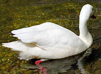 Coscoroba blanc