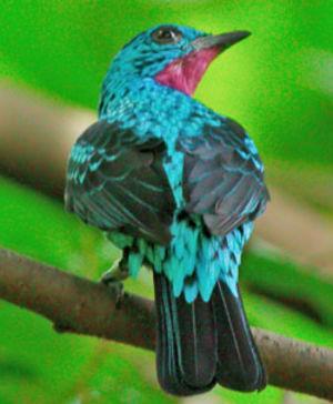 Cotinga de Cayenne