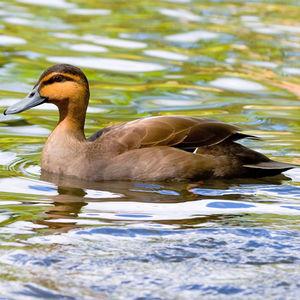 Canard des Philippines