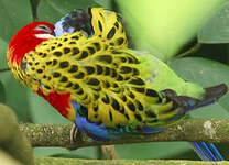 Perruche omnicolore