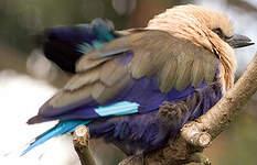 Rollier à ventre bleu