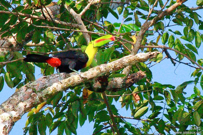 toucan.a.carene.alrs.4g