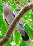 Tourterelle à ailes blanches