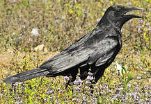 Corneille noire