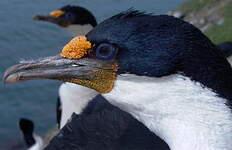 Cormoran des Kerguelen
