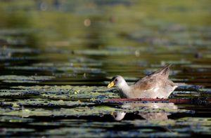 Gallinule africaine