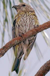 un oiseau - ajonc - 27 août Bec-croise.d.hispaniola.alca.1p.200.w