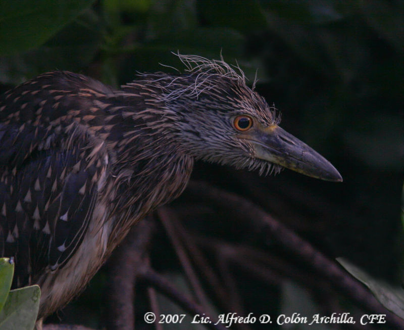 Yellow-crowned Night Heron juvenile