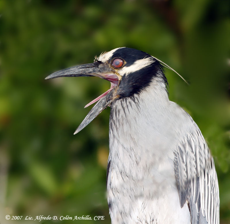 Yellow-crowned Night Heron adult