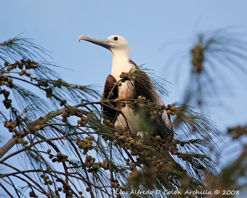 Magnificent frigatebird range - photo#19