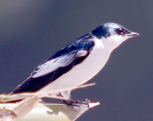 Hirondelle bleu et blanc