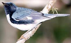 Paruline bleue