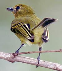 Platyrhynque à poitrine jaune