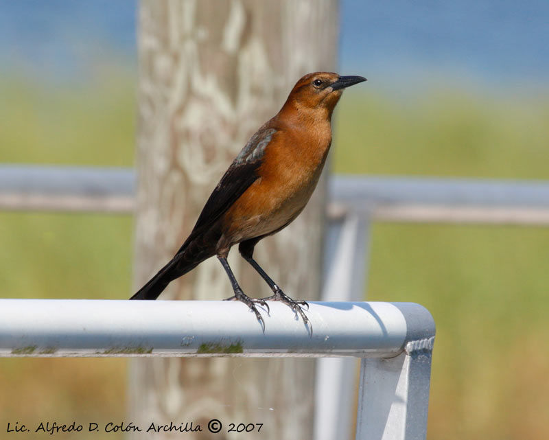 Boat-tailed Grackle female