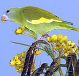Toui à ailes variées