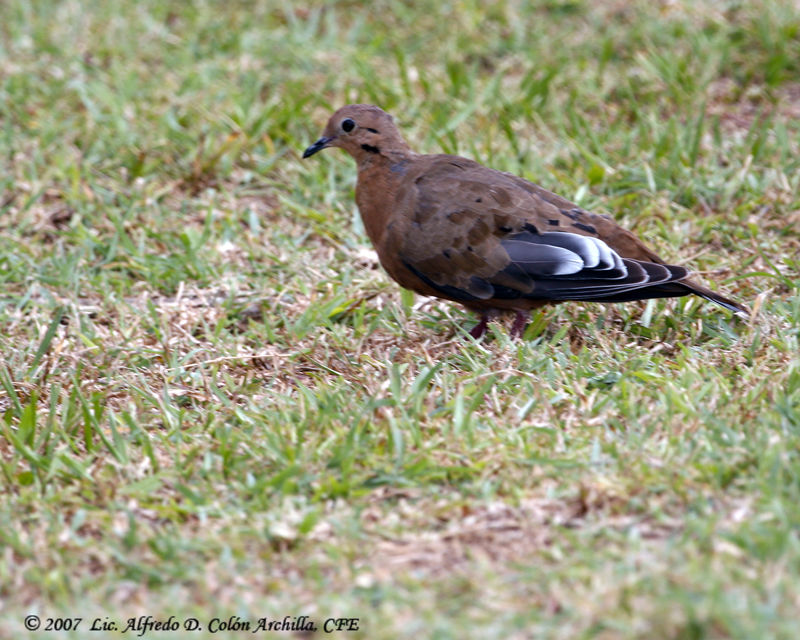 zenaida dove - photo #44