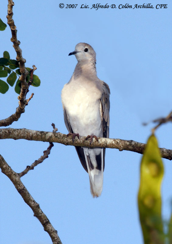 African Collared Dove