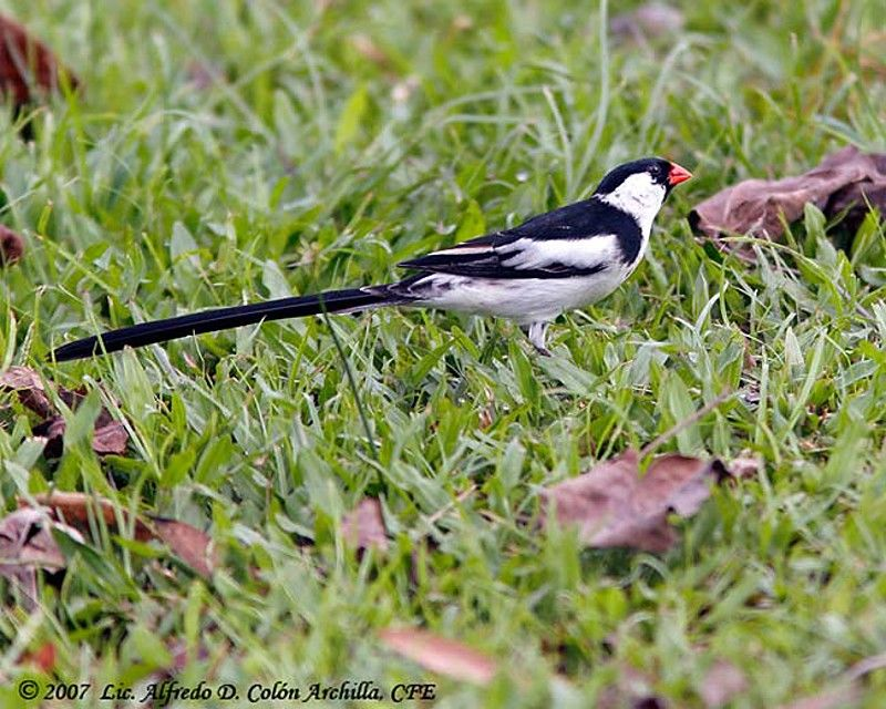 Pin-tailed Whydah male