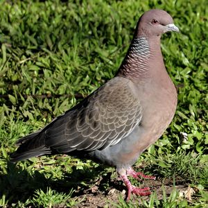 Pigeon picazuro